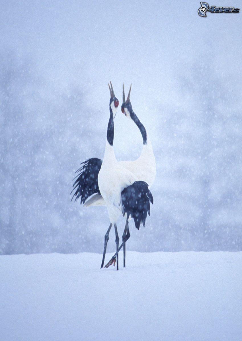 Tranor, snöfall