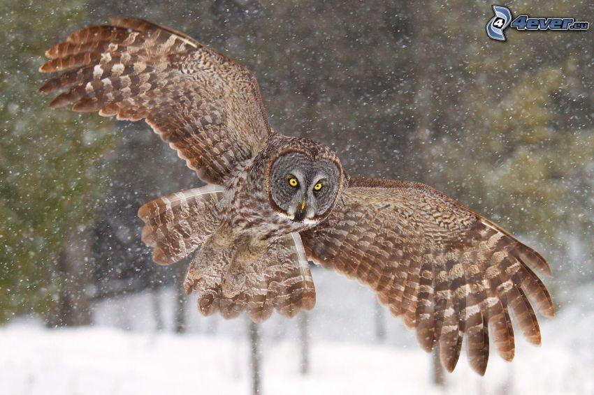 uggla, flyg, snö