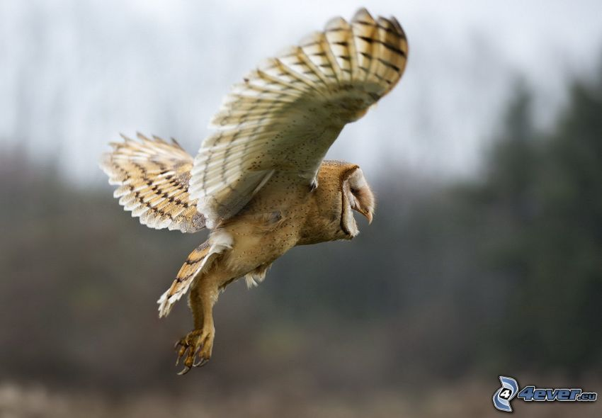uggla, vingar, flyg