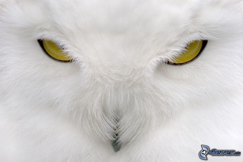 vit uggla, ögon