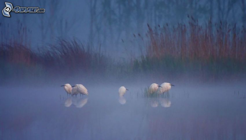 vita fåglar, dimma
