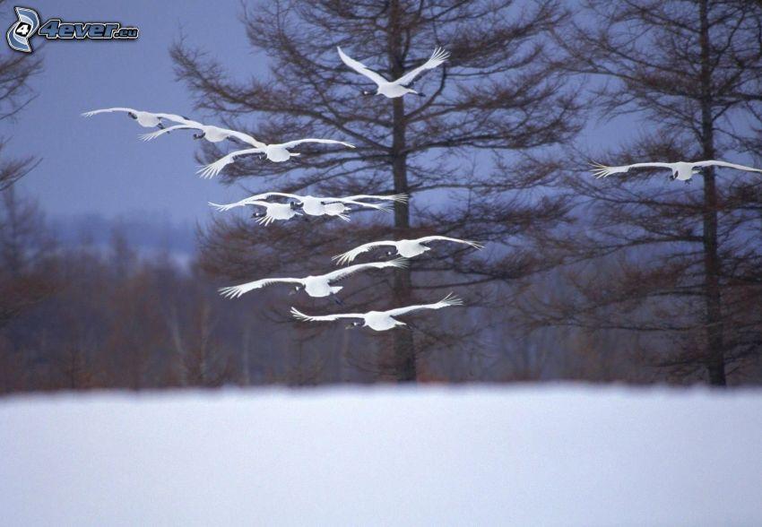 vita fåglar, flyg