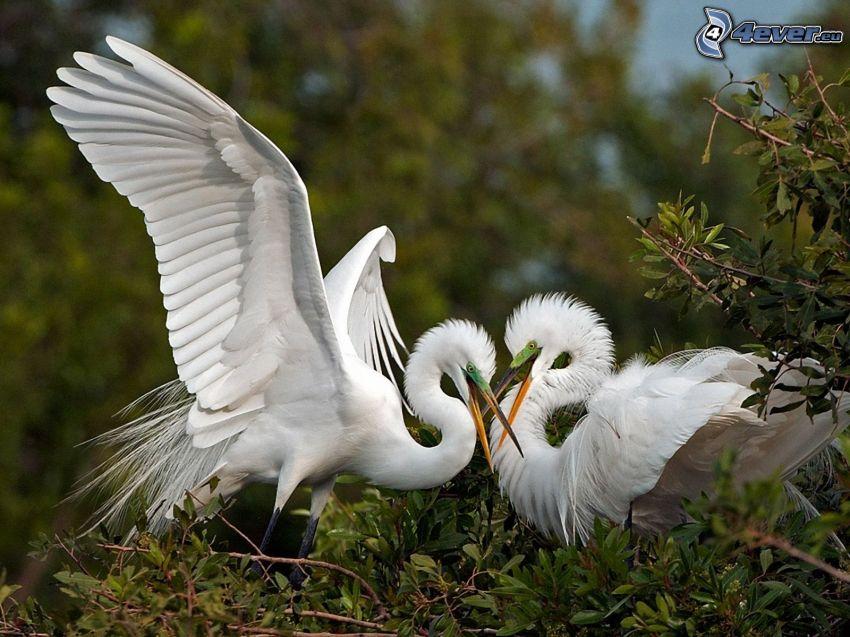 vita fåglar