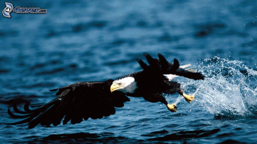 Vithövdad havsörn, flyg, vatten