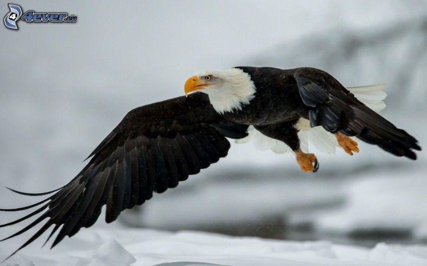 Vithövdad havsörn, flyg, vingar, snö