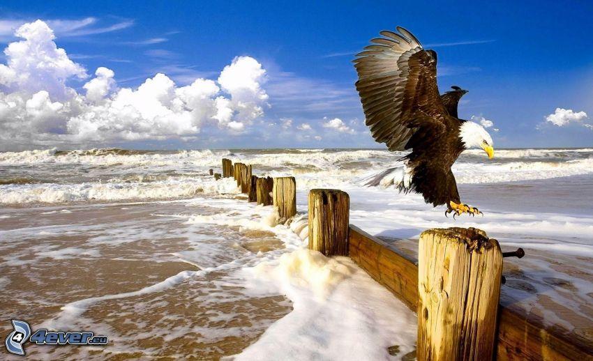 Vithövdad havsörn, landning, damm, hav