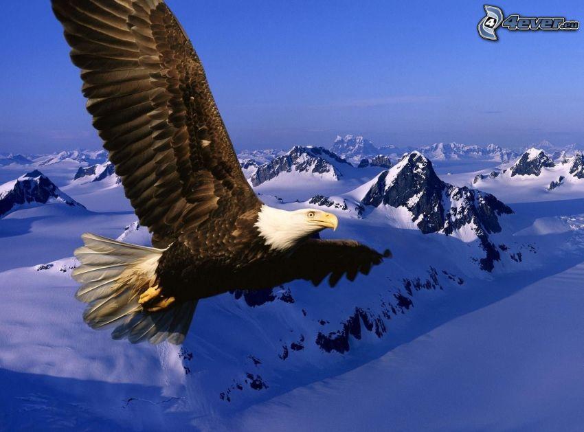 Vithövdad havsörn, vingar, flyg, snöklädda berg