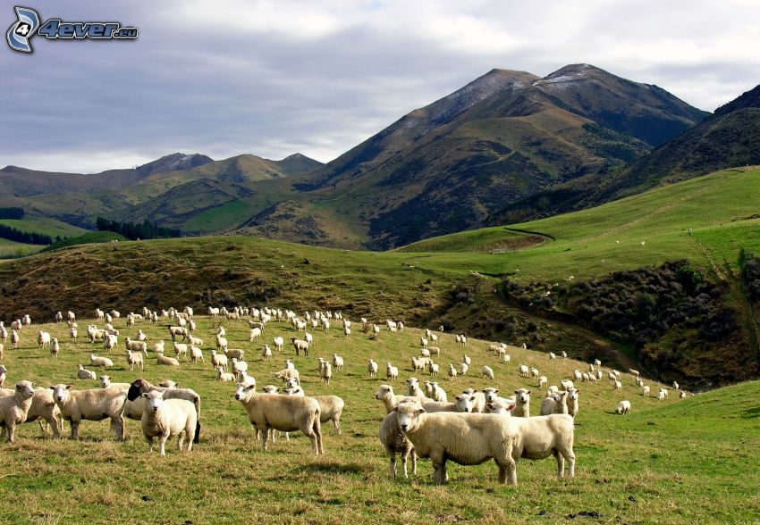får, kullar, ängar
