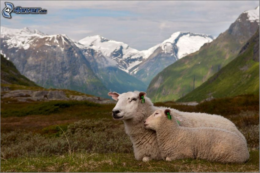 får, snöklädda berg