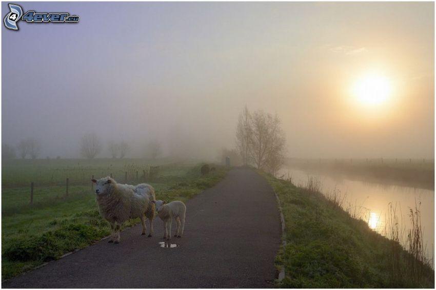 får, trottoar, flod, dimma, svag sol