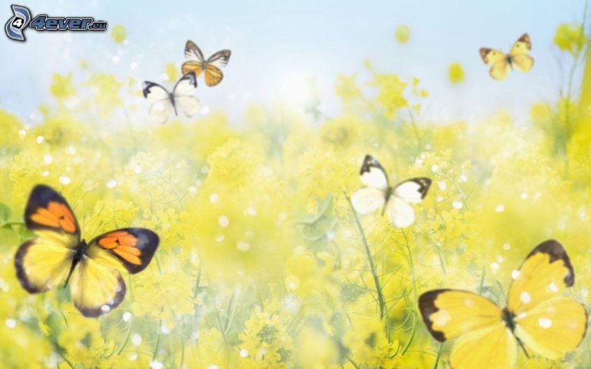 fjärilar, raps