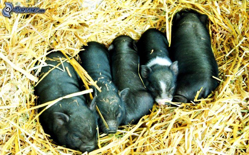 grisar, ungar, halm