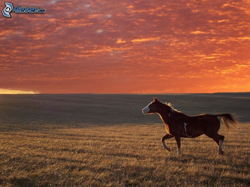 brun häst, åker, kvällsjus