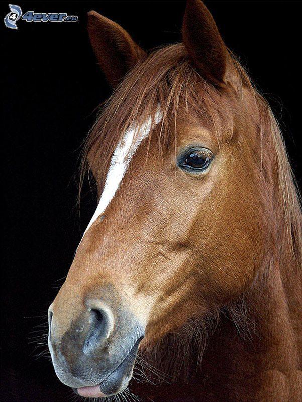 brun häst, hästhuvud
