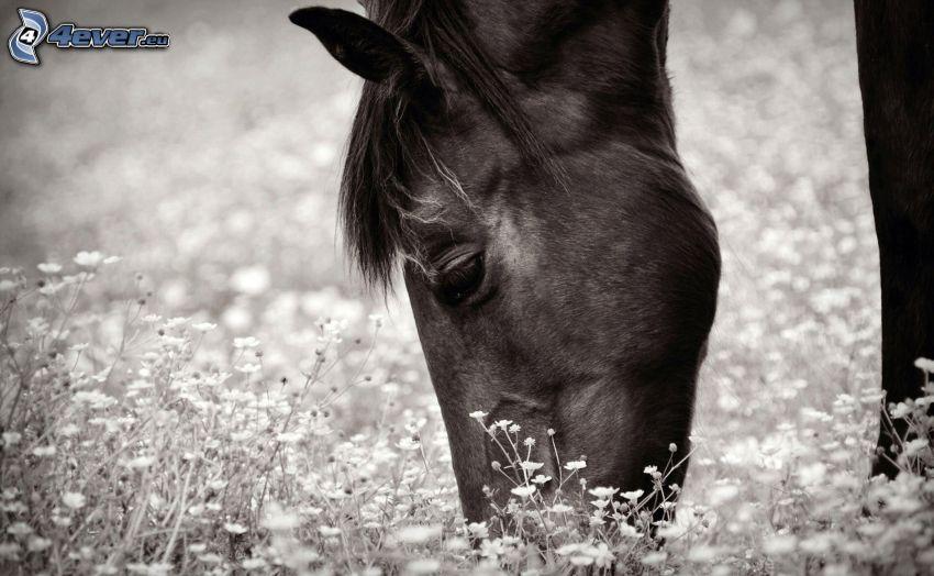häst, blommor, svart och vitt
