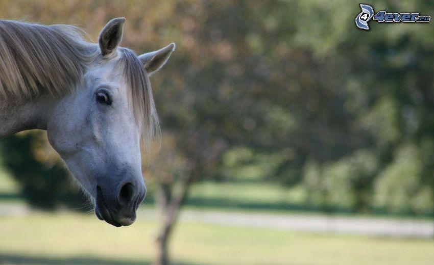 häst, huvud