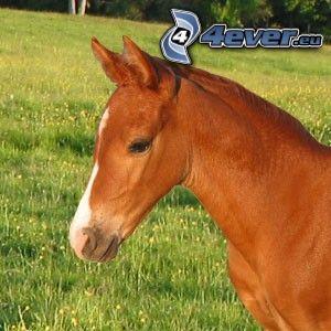 häst, ponny