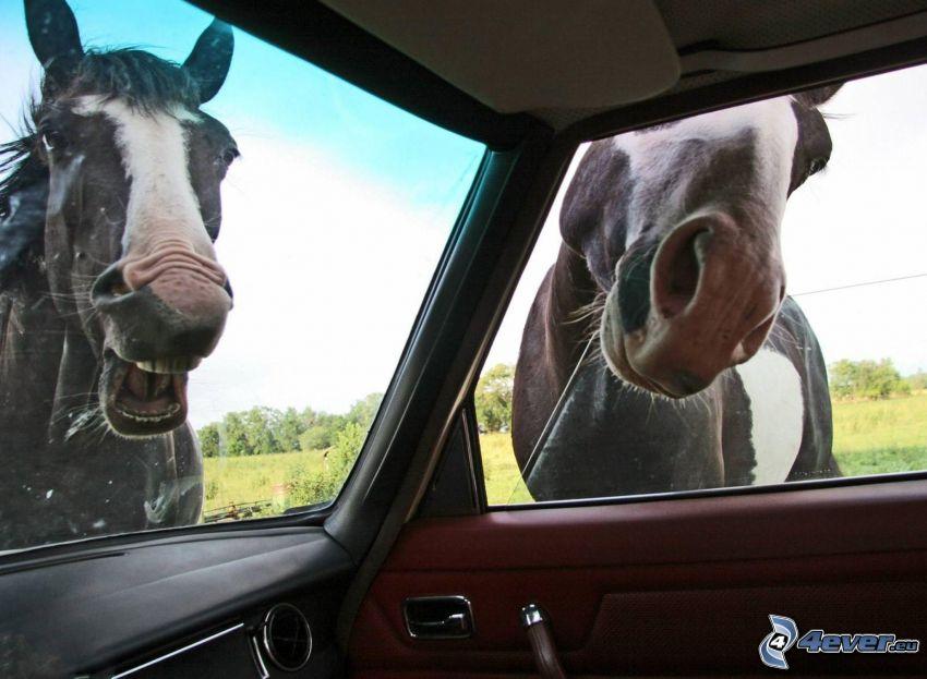 hästar, bil, fönster