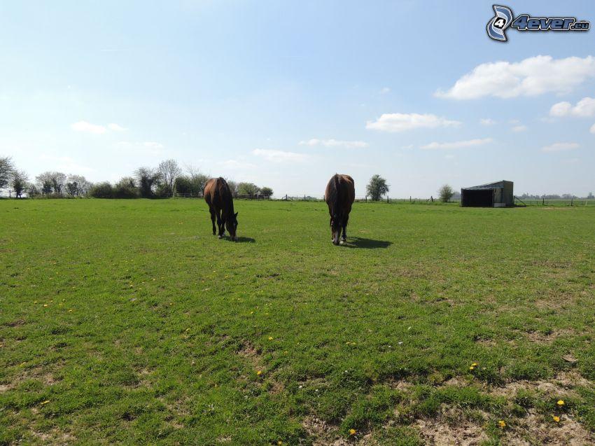 hästar, bondgård, gräs, maskrosor