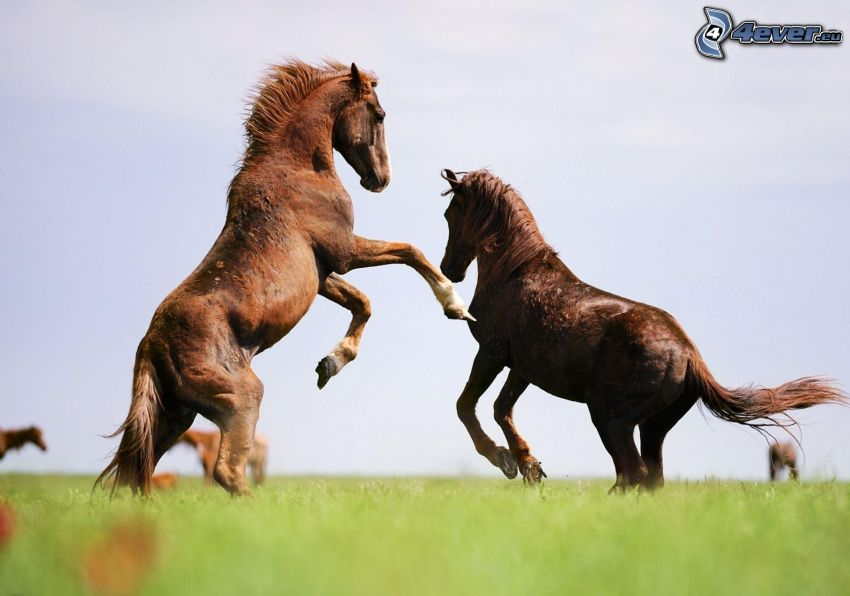 hästar, hopp