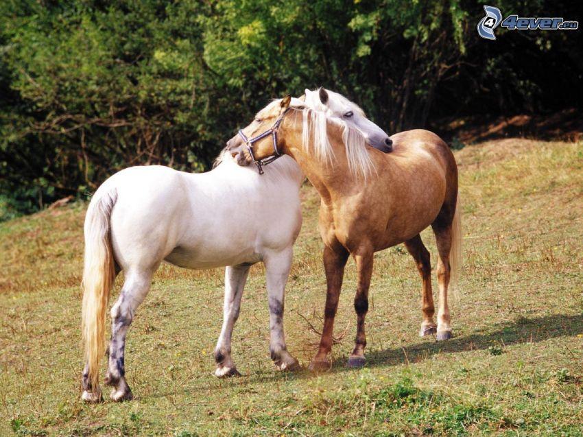 hästar, vit häst, brun häst, par, kärlek
