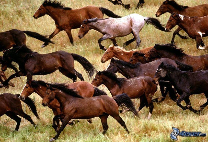 hästflock, bruna hästar, springa, torrt gräs