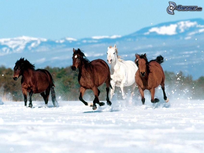 hästflock, bruna hästar, vit häst, springa, snö