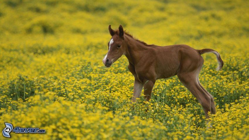 ponny, äng