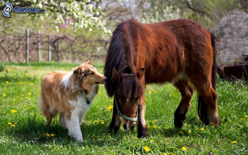 ponny, collie