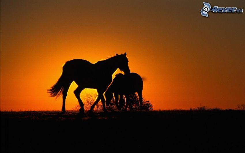 silhuetter av hästar, föl, orange solnedgång, kvällsjus