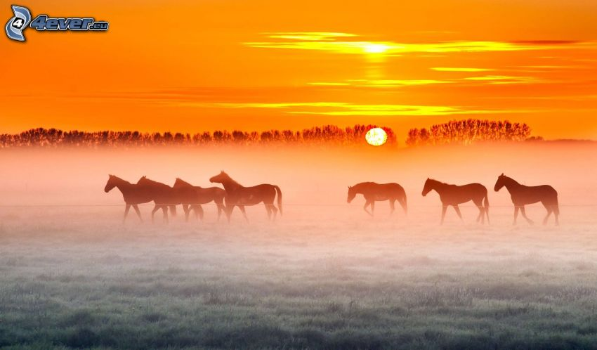 silhuetter av hästar, soluppgång