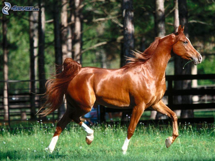 springande häst, gräs, natur