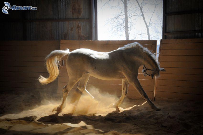 vit häst, damm, sand, stall