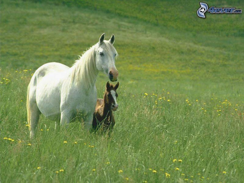 vit häst, föl, äng, gräs