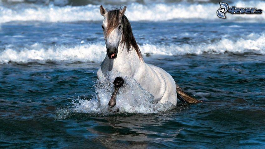 vit häst, hav