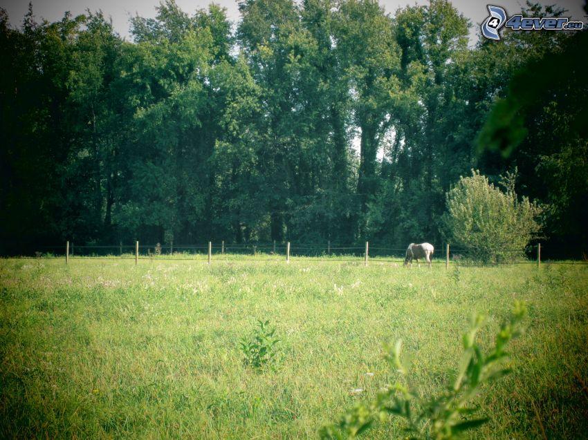 vit häst, staket, gräs, träd