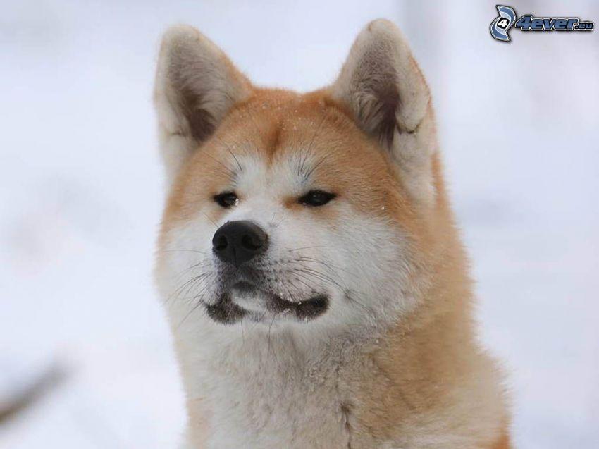Akita Inu, snö
