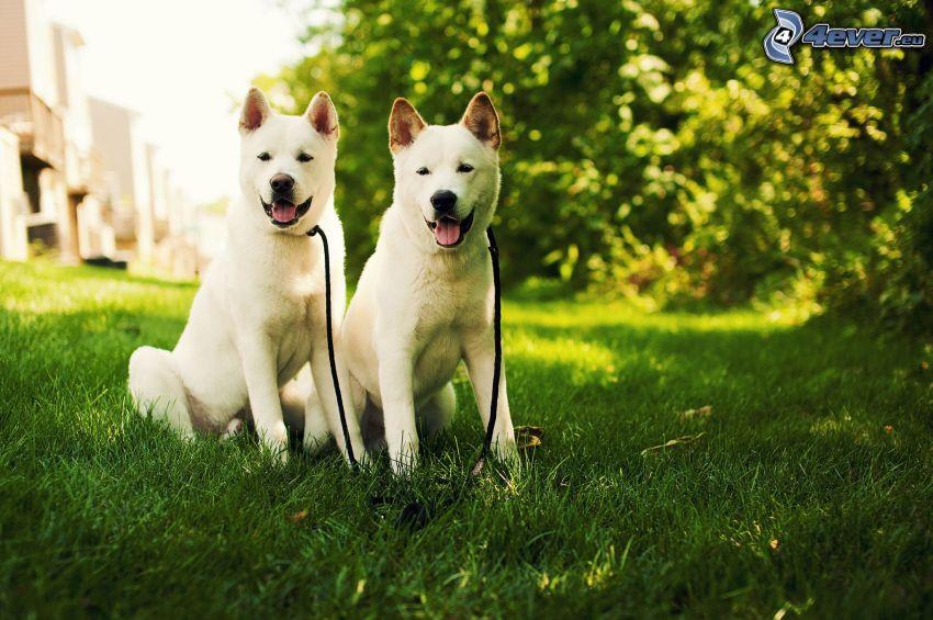Akita Inu, två hundar, grönt gräs