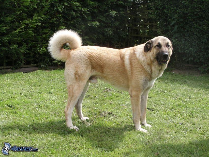 Anatolisk herdehund, gräsmatta, buskar