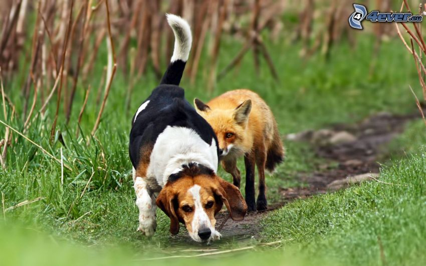 beagle, räv