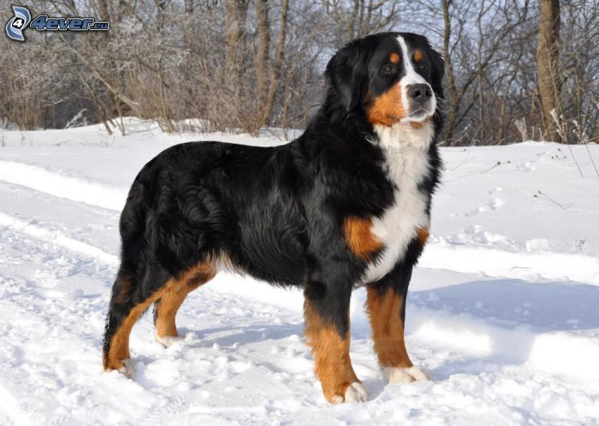 Berner sennenhund, snö