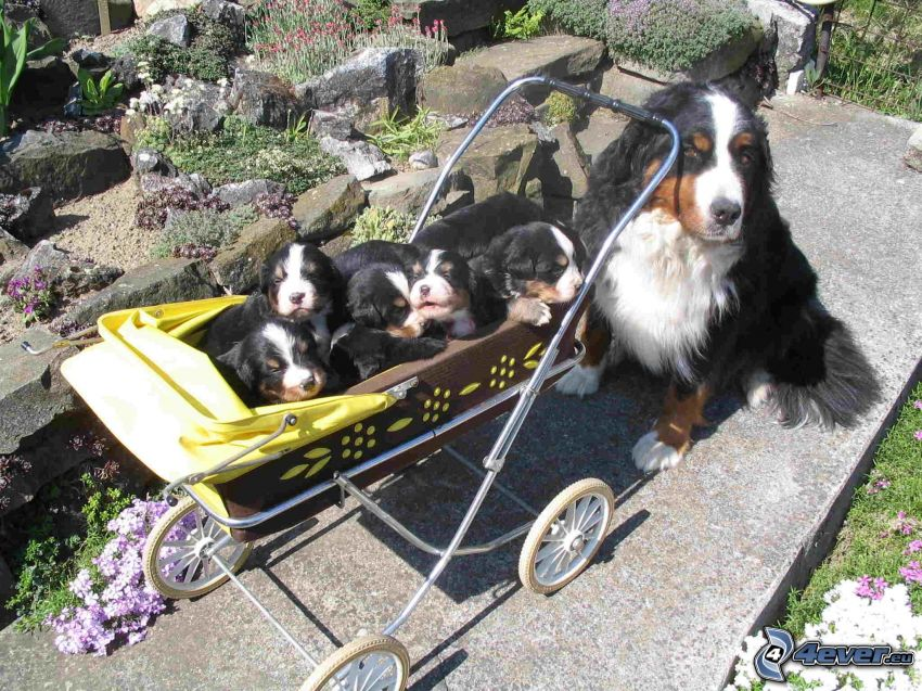 Berner sennenhund valpar, Berner Sennenhundar, barnvagn