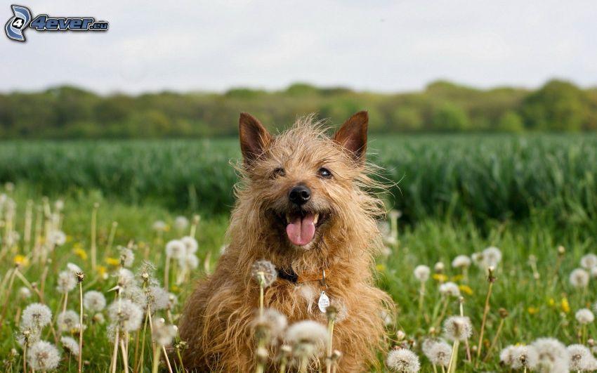 brun hund, avblommade maskrosor, äng