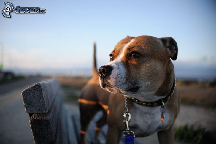 brun hund, bänk
