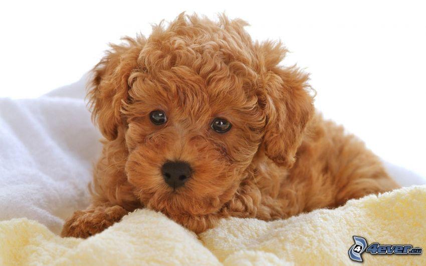 brun hund, filt