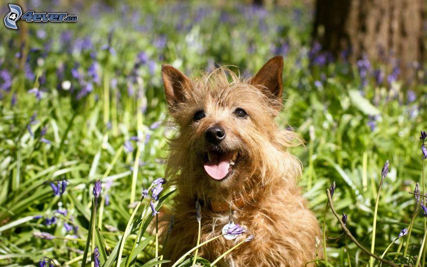 brun hund, lila blommor