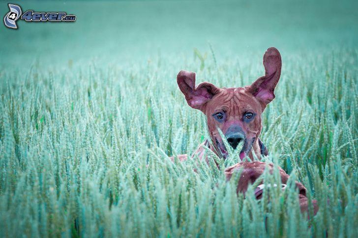 brun hund, vetefält