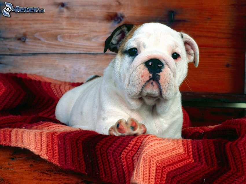 bulldogvalp