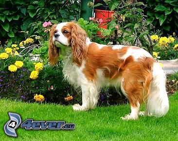 Cavalier King Charles Spaniel, gräs, buske