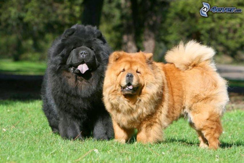 chow-chow hund, park